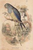 Blue Winged Parakeet