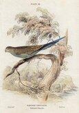 Budgerigar or Grass Parakeet
