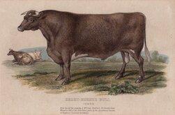 Short Horned Bull