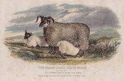 Black Faced Heath Sheep