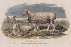 Sheep Leicester Ewe