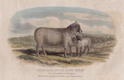 Sheep South Down