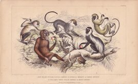 Ape and Monkeys