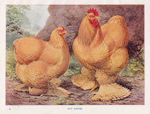 Poultry: Buff Cochins