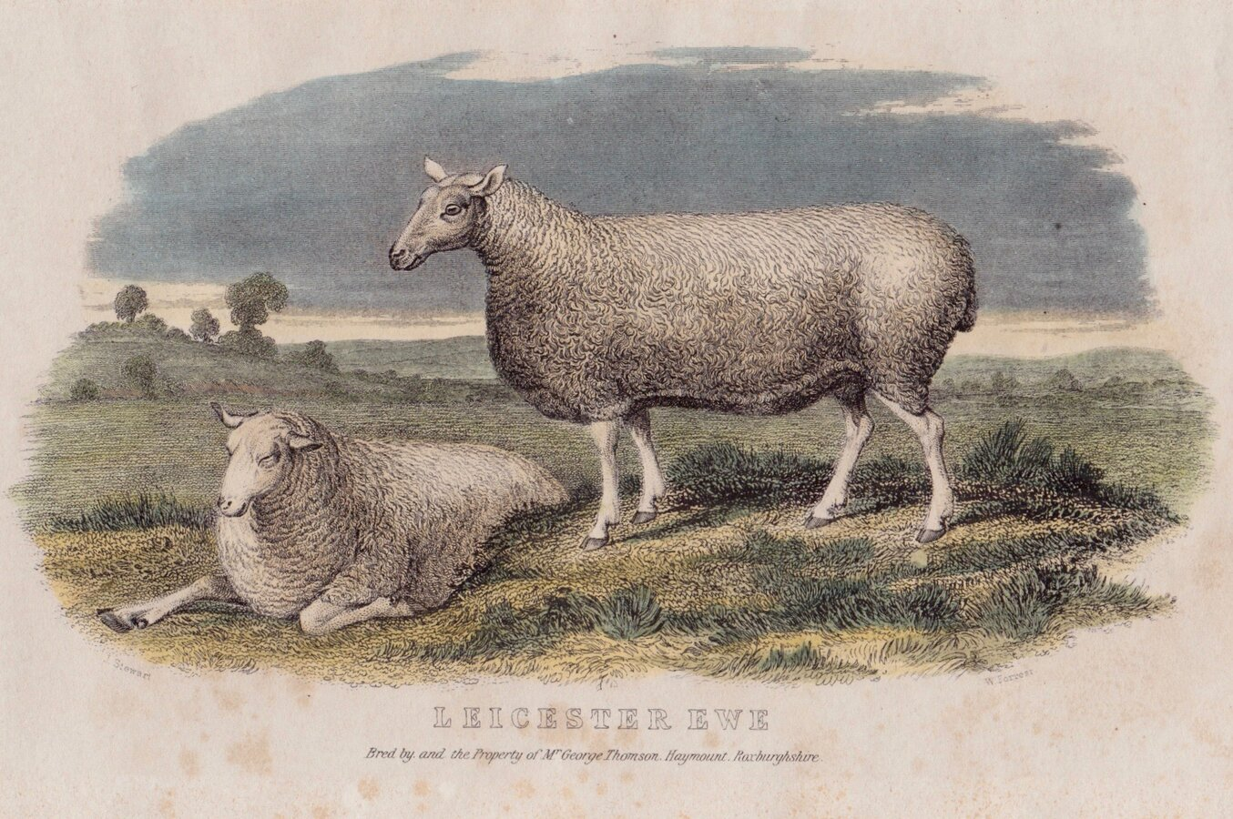 Leicester Sheep