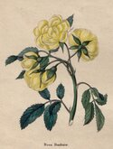 Lady Bank's Yellow Rose
