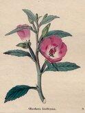 Lindley's Tree Primrose